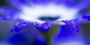 Waterdruppels op een blauwe Margriet van