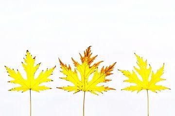 Buntes Herbstlaub mit weißem Hintergrund von Carola Schellekens