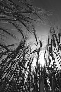 Barley Field in Summer van