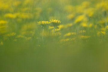 Paardenbloemen van Ronald Jansen