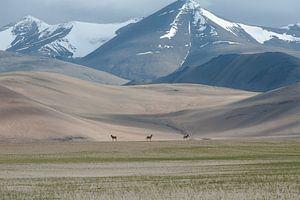 Wilde Paarden India