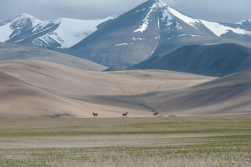 Wilde Paarden India van Monique Pouwels