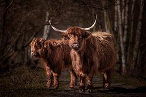 Twee Schotse Hooglanders in het bos