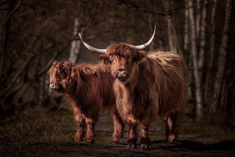 Twee Schotse Hooglanders in het bos van Evelien Oerlemans