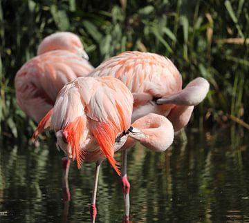Flamingo's van De fotograafer