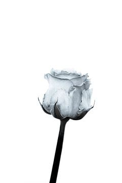 Weiße Rose von Lynlabiephotography