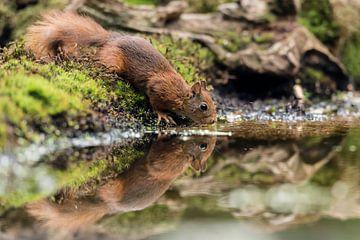 Drinkende eekhoorn van Fronika Westenbroek