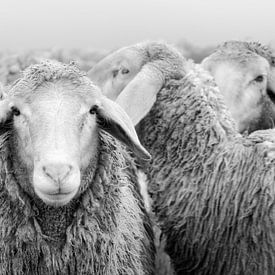 Kudde schapen zwart en wit van Michael Valjak