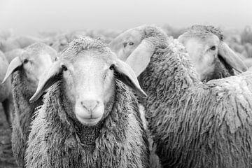 Schafherde schwarz-weiß von Michael Valjak