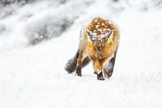 Vos tijdens een sneeuwstorm