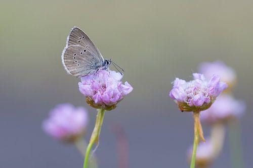 klaverblauwtje op engels gras