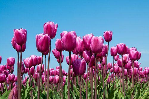 Paarse tulpen in een veld