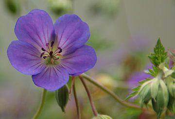 Blauwe geranium van Willeke Vrij