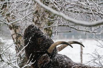 Galloway im Schnee von Marcel Derweduwen