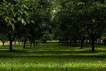 Walnotenboomgaard in de Dordogne van Esther Swaager ( Studio Toet)