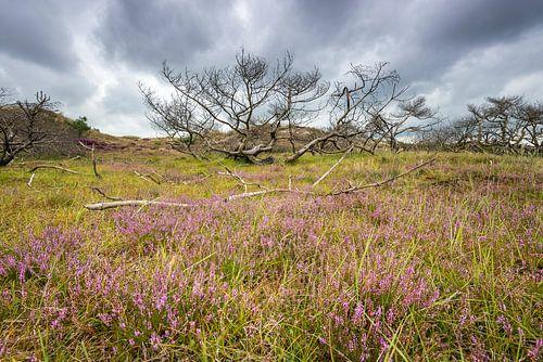 Heide in het duin bij Schoorl
