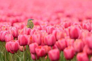 Gele Kwikstaart op tulpen