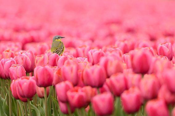 Gele Kwikstaart op tulpen van Martin Bredewold