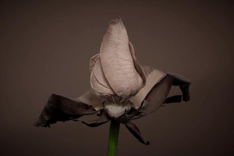 De laatste levensfase van een mooie roos van Jenco van Zalk