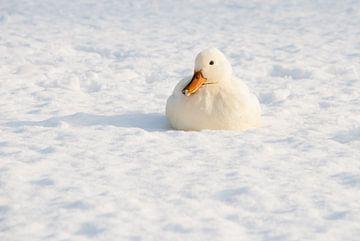 Sneeuw eend van Ronald Stultiens