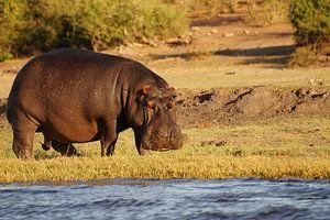 Nijlpaard aan de rivier