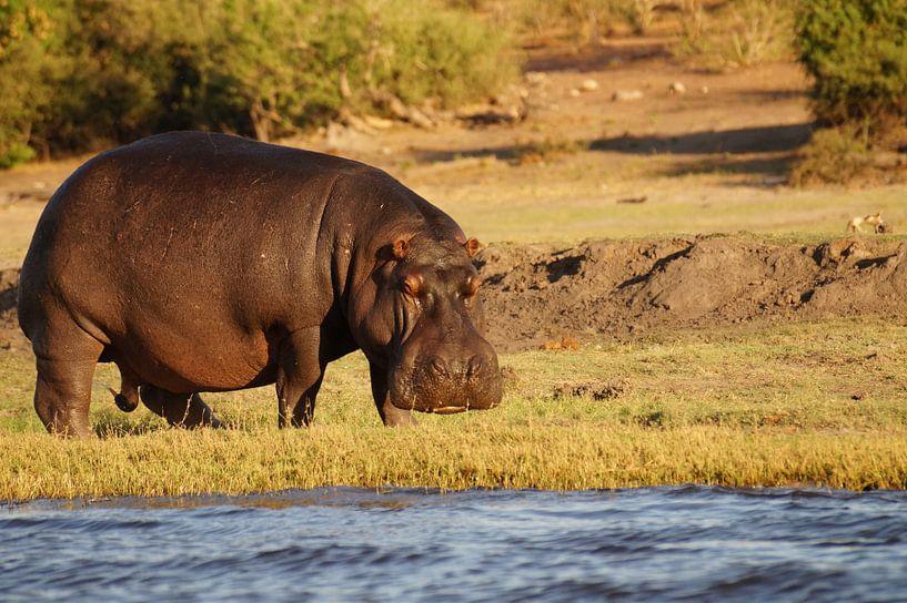 Nijlpaard aan de rivier van Erna Haarsma-Hoogterp