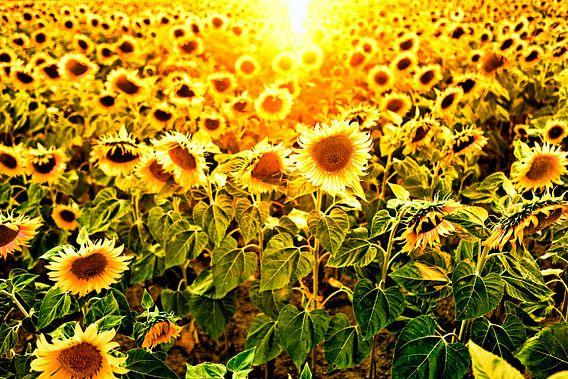 veld met zonnebloemen in tegenlicht van Paul Piebinga
