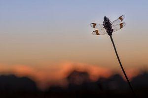 Bandheidelibel net voor zonsopkomst