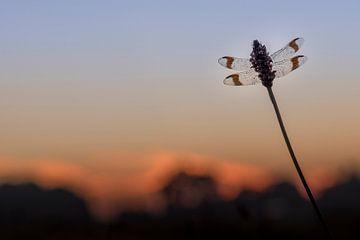 Bandheidelibel juste avant le lever du soleil sur