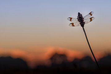 Bandheidelibel kurz vor Sonnenaufgang von Erik Veldkamp