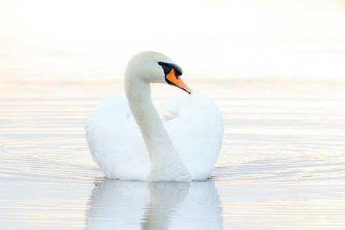 Zwaan in het water van Dennis van de Water