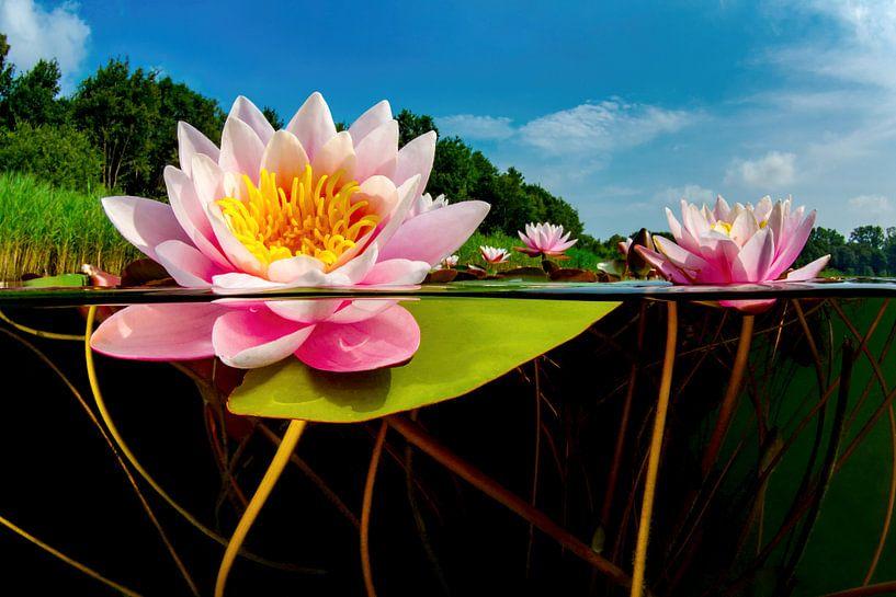 De wereld van de Waterlelies van Filip Staes