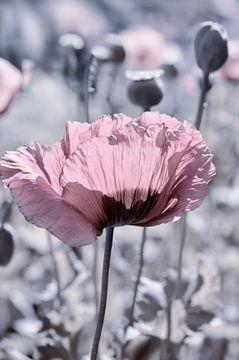Poppy van Violetta Honkisz
