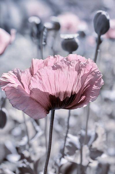 Poppy sur Violetta Honkisz