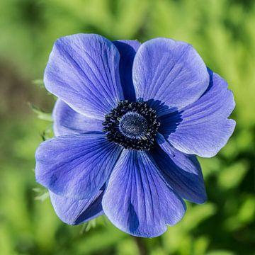 Blauwe Anemoon van Yvonne van der Meij