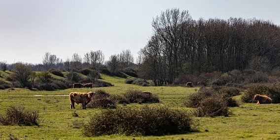 Graslandschap met schotse hooglanders