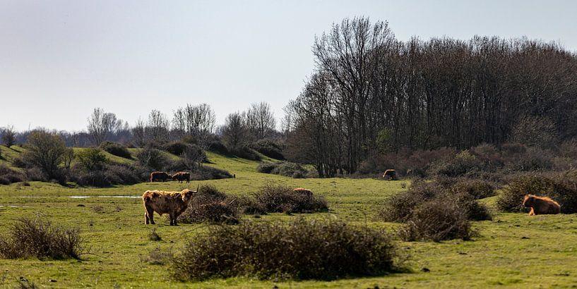 Graslandschap met schotse hooglanders van Percy's fotografie