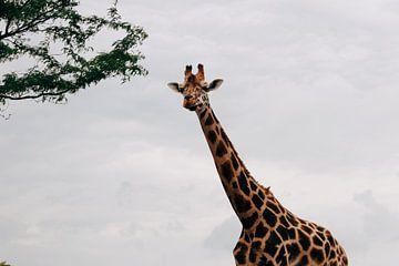Kouwende Giraffe van