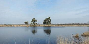 reflektierende kriechende Kiefern in einem Panorama von Wim vd Neut