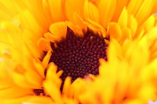 Hart van een goudsbloem