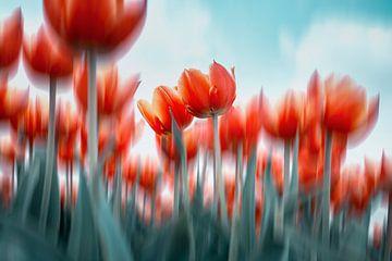 Tulpen aber anders von Kristof Ven