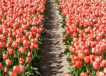 Tulpenfeld - rosa von Henk Alblas