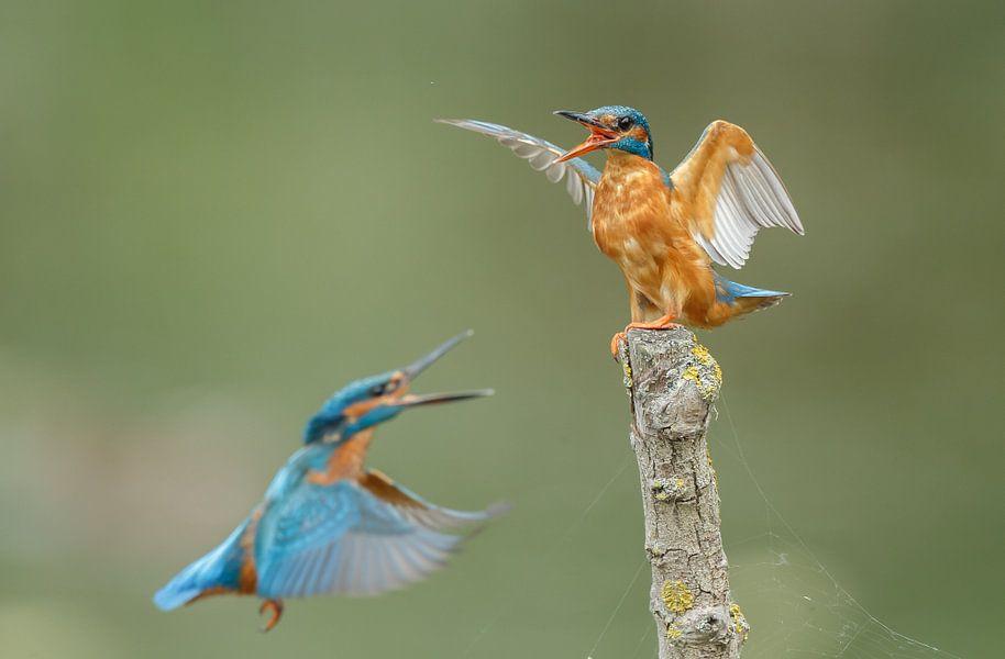 IJsvogel van Menno Schaefer