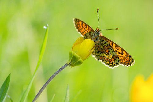 veldparelmoervlinder op een boterbloem