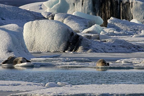 Zeehonden op het ijs