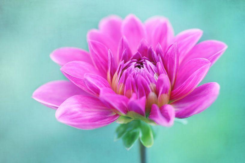 Roze Dahlia van LHJB Photography