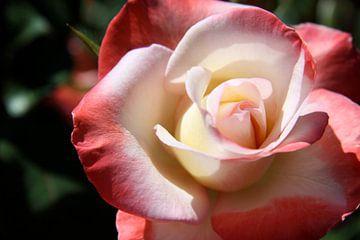 Zweifarben  Rose von Christiane Schulze