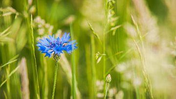 Bloeiende blauwe korenbloem tussen het groene gras van Fotografiecor .nl