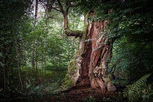 Vieux chêne creux sur Jürgen Schmittdiel Photography