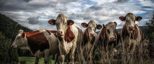 Cows in France van